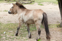 Przewalski`s horse Equus ferus przewalskii Stock Photo