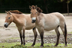 Przewalski`s horse Equus ferus przewalskii. Also known as the Asian wild horse royalty free stock image