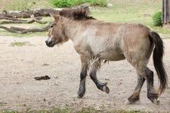 Przewalski`s horse Equus ferus przewalskii Royalty Free Stock Photos