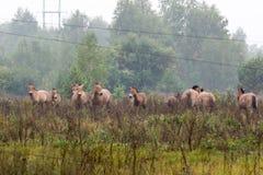Przewalski's horse, Equus ferus przewalskii. Przewalski's horses in Chernobyl Zone, Equus ferus przewalskii Stock Image
