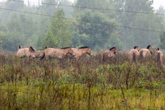 Przewalski's horse, Equus ferus przewalskii. Przewalski's horses in Chernobyl Zone, Equus ferus przewalskii Stock Photography