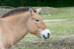 Przewalski's Horse (Equus ferus przewalskii). The Przewalski's Horse (Equus ferus przewalskii) is the only wild horse that has survived in its wild form today Royalty Free Stock Photos