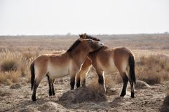 Przewalski's Horse Royalty Free Stock Photo