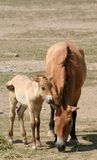 Przewalski's Horse and Foal. A Przewalski's horse and her  foal Royalty Free Stock Photos