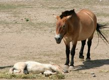 Przewalski's Horse and Foal. A Przewalski's horse and her  foal Stock Photo