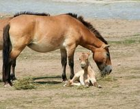 Przewalski's Horse and Foal. A Przewalski's horse and her  foal Stock Photos