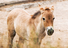 Przewalski's horse foal Royalty Free Stock Images