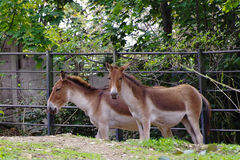 Przewalski's Horse, friendly animals at the Prague Zoo. Stock Image
