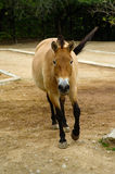Przewalski's Horse, friendly animals at the Prague Zoo. Royalty Free Stock Photo