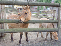 Przewalski's horse in the Kyiv Zoo, Ukraine. Przewalski's horse or Dzungarian horse in the Kyiv Zoo, Ukraine royalty free stock photos