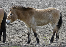 Przewalski's horse mare 1 Stock Photography