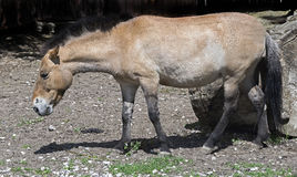 Przewalski's horse mare 2 Royalty Free Stock Images