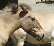 Przewalski`s horse Royalty Free Stock Photo