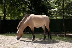 The Przewalski's horse Royalty Free Stock Images