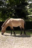 The Przewalski's horse Stock Images