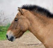 Przewalski`s horse 4 Royalty Free Stock Images