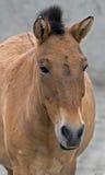 Przewalski`s horse 5 Royalty Free Stock Photos