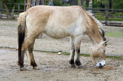 Przewalski's horse. A Przewalski's Horse at the Prague ZOO Royalty Free Stock Images