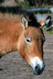 Przewalski`s horse royalty free stock photos