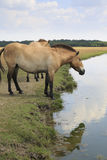 Przewalski's Horse at riverside Royalty Free Stock Image