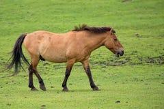 Przewalski's horse on the run Stock Photography