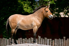 Przewalski's Horse standing on the hill Stock Photos