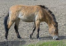 Przewalski's horse 8. Wild mongolian horse. Latin name - Equus przewalskii Stock Photography
