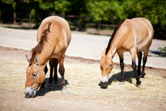 Przewalski's horses Stock Photos