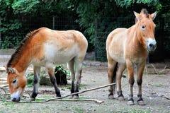 Przewalski's horses Royalty Free Stock Image
