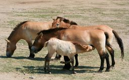 Przewalski's Horses and Foal. Przewalski's horses and  a foal who is nursing Royalty Free Stock Images