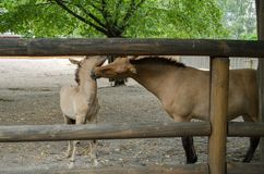 Przewalski`s horses mother and son stock image