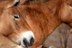 Przewalski` s paarden Stock Afbeelding