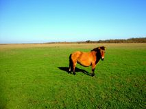 Przewalski-` s Pferd in der Steppe stockbild