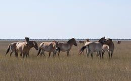 Przewalski` s wild paarden royalty-vrije stock afbeeldingen