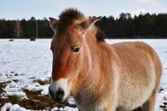 Przewalski vildhäst i vinter Arkivfoton