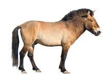 Przewalski wild horse cutout royalty free stock image