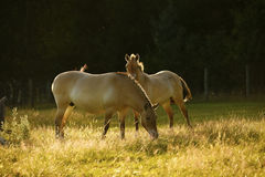 Przewalski& x27;s horses grazing together Royalty Free Stock Images