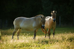 Przewalski& x27;s horses grazing together Royalty Free Stock Photo