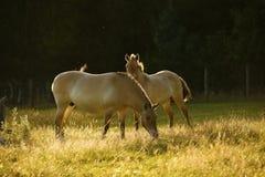 Przewalski& x27; s-Pferde, die zusammen weiden lassen Lizenzfreie Stockbilder