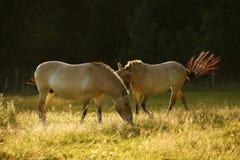 Przewalski& x27; s-Pferde, die zusammen weiden lassen Stockfotos