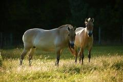 Przewalski& x27; s-Pferde, die zusammen weiden lassen Lizenzfreies Stockfoto