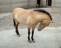Przewalskii do Equus de Przhevalskogo do cavalo Fotos de Stock Royalty Free