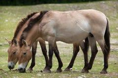 Przewalskii do ferus do Equus do cavalo do ` s de Przewalski foto de stock