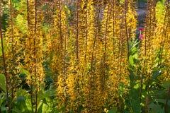 Przewalskii Ligularia подсвеченное Стоковое Изображение RF