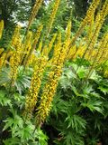 Przewalskii van Ligularia stock afbeelding