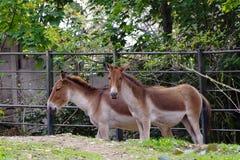 Przewalskipferd, freundliche Tiere am Prag-Zoo Stockbild