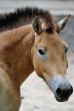 Przewalskis häst Royaltyfria Foton