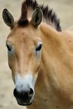 Przewalskis häst Royaltyfri Bild