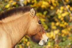 Przewalskis häststående Royaltyfri Fotografi