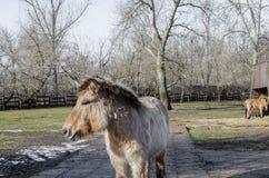 Przewalskis horse/Dzungarian häst Arkivfoton